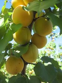 ripe apricots on branch