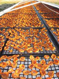 sun-drying apricot halves